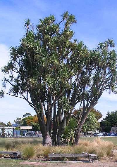 cabbage-trees