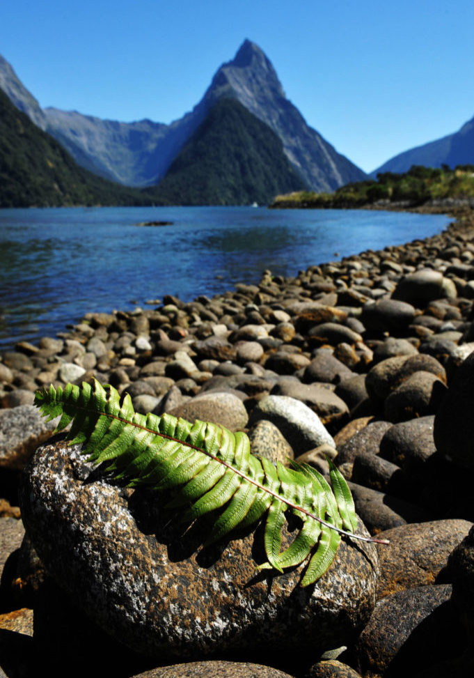 Silver fern leaves on a rock against Mitre Peak at the background in Fiordland National Park, southern Island, New Zealand.